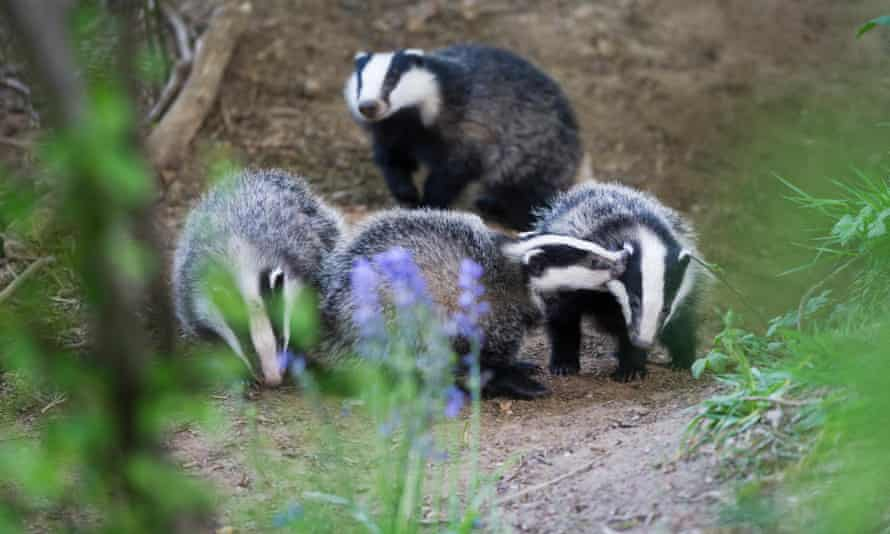A key element of the government's TB control programme, England's badger cull, is set to expand.