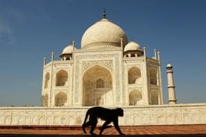 A monkey walks past the Taj Mahal