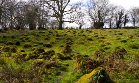 Yellow meadow ant nest mounds at Cors-y-Llyn.