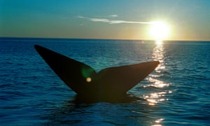 The tail of a southern right whale emerges from the waters of the South Atlantic Ocean off the coast of Argentina.
