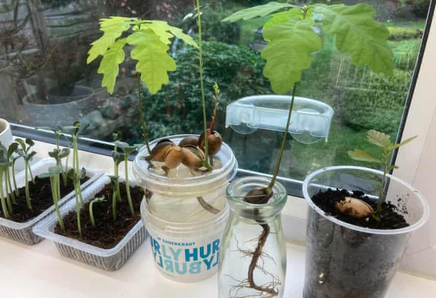 Seedlings on Peter Crush's windowsill.