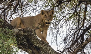 A young lion in a tree