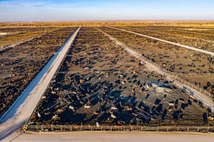 A cattle feedlot, Colorado