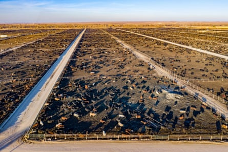 A cattle feedlot, Colorado