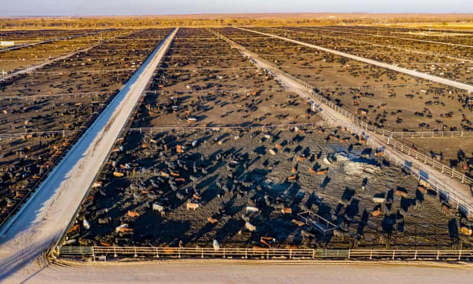 Cows at a cattle feedlot in Kersey, Colorado, with a capacity of 98,000 cattle.