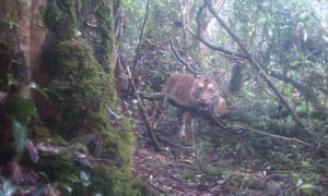 A Sumatran tiger caught on camera trap in Hadabuan Hills. There are only a few hundred Sumatran tigers left on Earth.