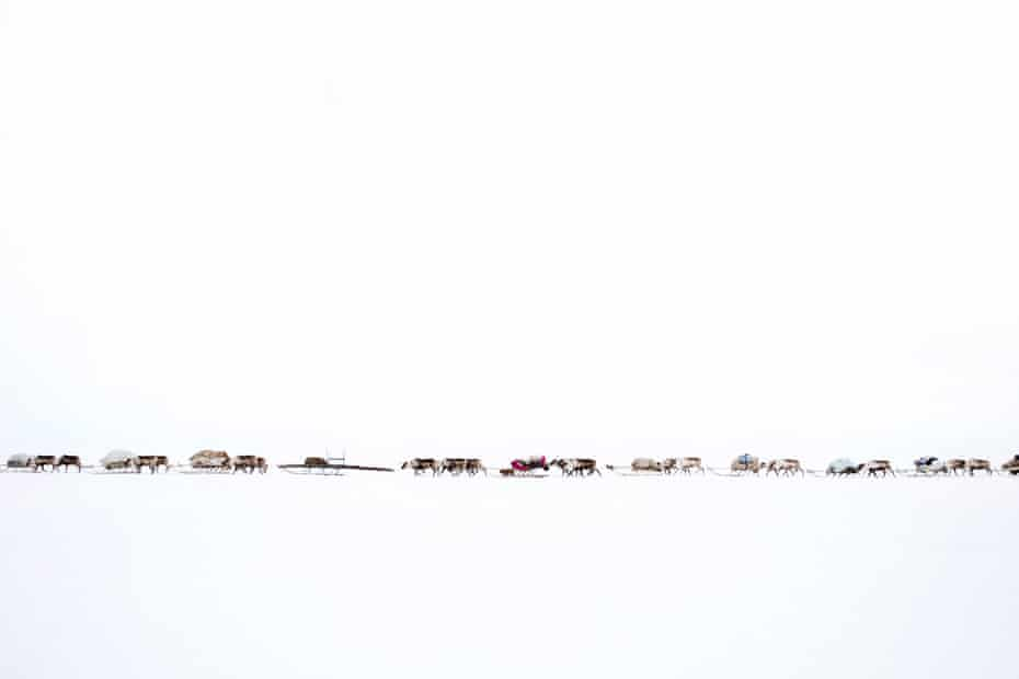 A convoy of reindeer, belonging to the Serotetto (white reindeer) family.