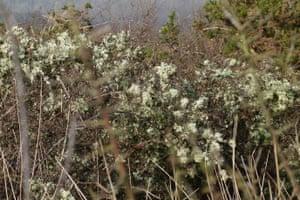 Lichen-festooned hedge
