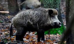 Wild boar in woodland