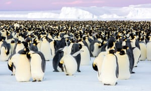 Emperor penguins in the BBC series Dynasties