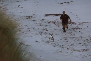 This yellow-eyed penguin is ambushed before being caught and weighed.