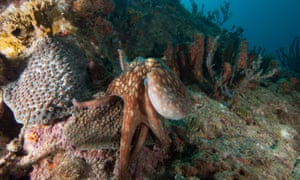 Common octopus hunting on coral reef.