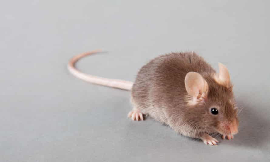 A brown mouse with a long tail against a neutral grey background (actually, it may be a small rat, I'm no expert).