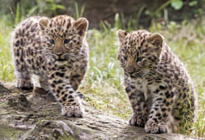 Leipzig, Germany: Amur leopard cubs explore their enclosure in the zoo