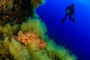 Scorpionfish and diver in the background