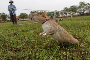 A rat being trained by the Cambodian Mine Action Centre is photographed on an inactive landmine field in Siem Reap. When they are four weeks old the Gambian pouched rats are trained to navigate minefields and sniff out mines, which are then checked and cleared by their human colleagues. Cambodia is still littered with landmines after emerging from decades of civil war, including the 1970s Khmer Rough 'Killing Fields' genocide.
