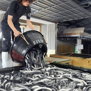 A worker pours a catch of eels into a storage container.
