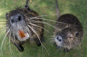 Frankfurt, Germany: Two coypus approach the photographer's camera at the Nidda river