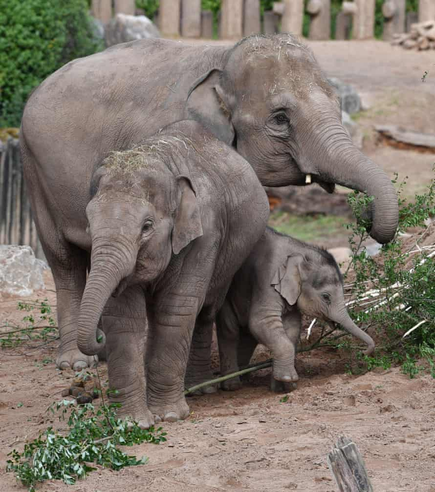 Elephants feeding in their enclosure at Chester zoo this week.