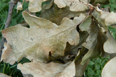 Oak leaves on a twig after a month on the ground.