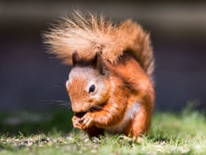 Red squirrelTaken south of Penrith in the Lake District, I was actually out with a mate on a landscape day when the opportunity arose. I go to the lakes two or three times a year but normally to take Milky Way shots so this was a pleasant surprise Photograph: Graham Morris/GuardianWitness