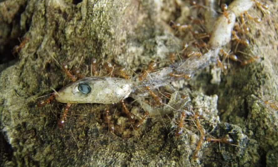 Invasive yellow crazy ants feeding on a gecko on Christmas Island