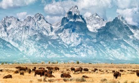 Buffalo below the Grand Teton Mountains, Yellowstone national park.