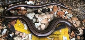 Female Slowworm by Margret Powell-Joss, Oban