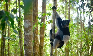 An Indri lemur in the rainforest of Madagascar as seen in Planet Earth II