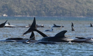Two large pods of long-finned pilot whales become stuck on sandbars in Macquarie Harbour, on Tasmania's sparsely populated west coast.