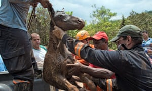 Brazilian firemen rescue a foal trapped in the mud after a dam burst in the village of Bento Rodrigues in Mariana on Friday.
