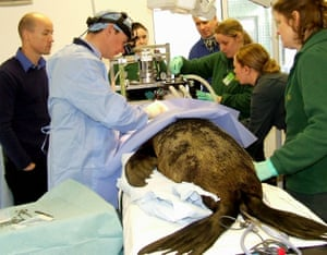 Devon, England A seal undergoes surgery