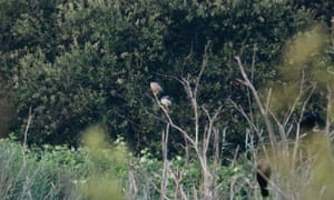 Photographic confirmation that night herons have bred in the UK for the first time in recorded history. Two adults and two recently fledged juveniles now roost at Somerset Wildlife Trust's Westhay Moor reserve