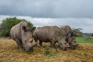 The world's last two white northern rhinos graze with a white southern female rhino in Ol Pejeta Conservancy, Kenya