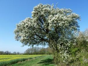 Cubbington Pear Tree, Staffordshire