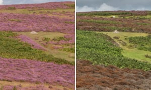 Heather blooming on the Long Mynd – then (August 2017) and now (August 2019)