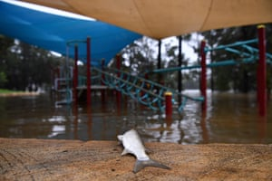 A dead fish on the edge of a partially submerged children's playground at Trench Reserve, Penrith