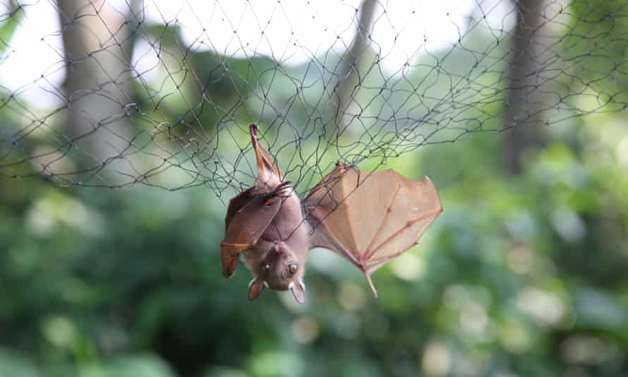 Bats are trapped in nets to be examined for possible viruses in Franceville, Gabon