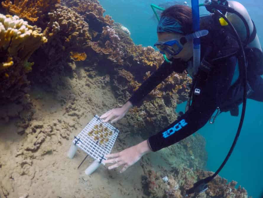 A tray of enhanced coral is placed on a reef during a practice run for future transplants in Hawaii''s Kaneohe Bay off the island of Oahu.