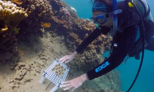 Researcher Jen Davidson places a tray of enhanced coral on to a reef