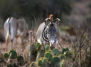 A Grevy's zebra, a threatened species, grazes in the Loisaba wildlife conservancy in northern Laikpia