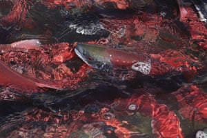 Kokanee Salmon in the Utah Division of Wildlife Resources, along the Strawberry River, about 20 miles south-east of Heber City, Utah
