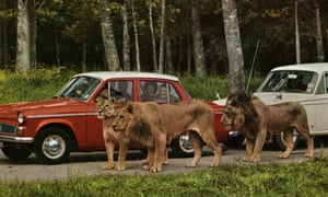 Longleat lions with cars