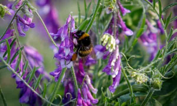 Bee on a purple wildflower