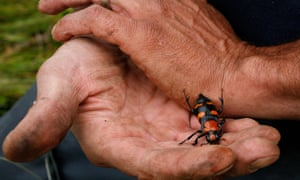 An American burying beetle. The species was listed as endangered in 1989, but the Fish and Wildlife Service is proposing to 'downlist' it to threatened.