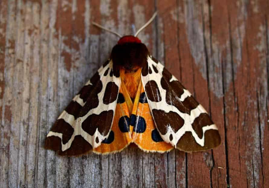 There are 2,500 species of moth in the UK, including the tiger moth, pictured.