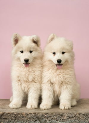 Dog's LifeStocksy txp1ce6818caCV200 Medium 1049799 two small white puppies