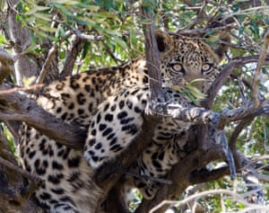 A young female leopard rests in a tree in Pilanesberg national park, South Africa
