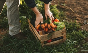 Freshly harvested vegetables are placed into a wooden crate
