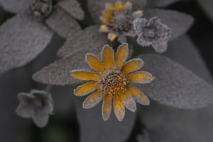 A flower is covered by volcanic ash from the eruption of Mount Semeru in Lumajang.